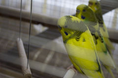 Papagaios ondulados Imagem de Stock Royalty Free