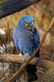 Papagaios ou Anodorhynchus Hyacinthinus foto de stock royalty free