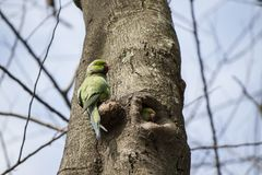 Papagaios que jogam o Peekaboo - aninhe o furo em uma árvore - india bangalore fotografia de stock royalty free