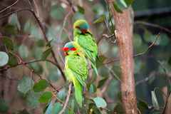 Papagaios rápidos em uma árvore Imagem de Stock Royalty Free