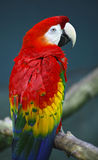 Papagaios verdadeiros Fotografia de Stock Royalty Free