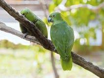 Papagaios verdes Foto de Stock Royalty Free