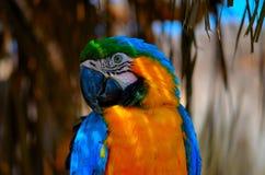 Papagayo Royaltyfria Bilder