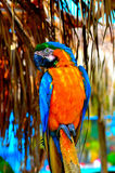 Papagayo Imagens de Stock Royalty Free
