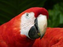 Papagayo / Guacamaya. Red Papagayo eating food on wildlife / Guacamaya Royalty Free Stock Photo