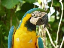 Papagayo / Guacamaya. Yellow and blue Papagayo at wildlife on Guatemala / Guacamaya Royalty Free Stock Photo