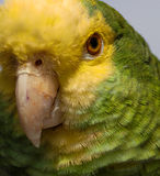 Papagei 1 Lizenzfreie Stockbilder