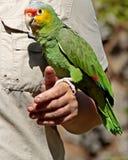 Papagei lizenzfreies stockbild