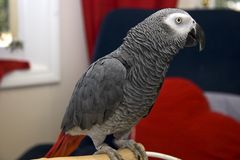 Afrikanisches Grau-Papagei Lizenzfreie Stockbilder