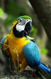 Papagei Ara Lizenzfreie Stockfotografie