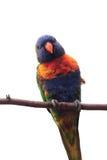 Papagei auf Baumast Lizenzfreie Stockbilder
