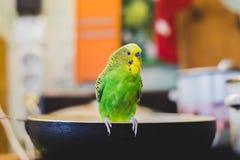 Papagei auf der Schüssel Lizenzfreies Stockbild