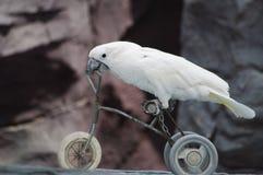 Papagei auf einem Fahrrad lizenzfreie stockfotos