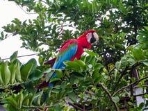 Papagei auf einem tropischen Baum Lizenzfreie Stockbilder