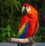 Papagei auf hölzernem Stock stockfotografie