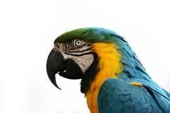 Papagei: auf Weiß Stockbild