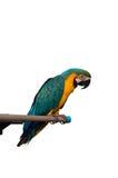 Papagei auf weißem Hintergrund Stockfotos
