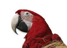 Papagei auf weißem Hintergrund Lizenzfreies Stockfoto
