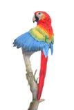 Papagei auf Zweig Lizenzfreie Stockfotos