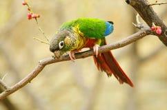 Papagei auf Zweig lizenzfreie stockfotografie