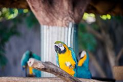 Papagei, Blau-und-gelbe Keilschwanzsittichnahaufnahme Lizenzfreies Stockbild