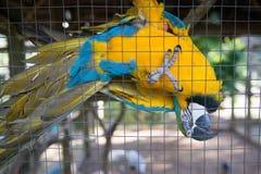 Papagei, blauer gelber Keilschwanzsittichgefangener hinter Zaun Stockfoto