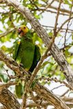 Papagei, der auf einem Glied sitzt lizenzfreie stockfotos