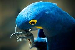Papagei, der auf einem Stock beißt lizenzfreie stockfotografie