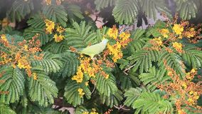 Papagei, der Blume isst stock footage