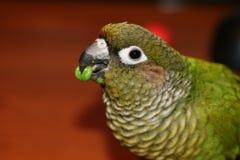 Papagei, der eine Erbse isst Lizenzfreie Stockbilder