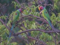 Papagei, der eine ernste Diskussion hat Stockfotografie