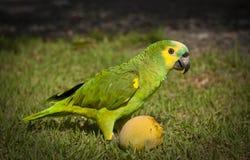 Papagei, der eine Mango isst Lizenzfreies Stockfoto