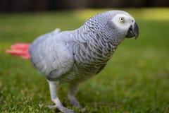 Papagei, der herum auf Gras geht Stockbild
