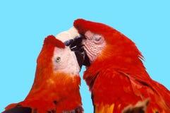 Papagei in der Liebe stockbild