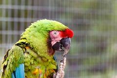 Papagei, der seinen Schnabel mit seinen Greifern verkratzt lizenzfreies stockbild