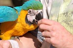 Papagei, der von der Hand isst Lizenzfreie Stockfotos