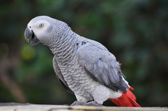 Papagei des afrikanischen Graus Stockbilder
