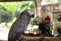 Papagei des afrikanischen Graus Stockfoto
