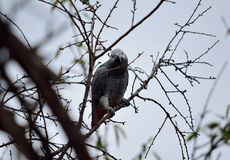 Papagei des afrikanischen Graus lizenzfreie stockfotografie
