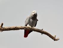 Papagei des afrikanischen Graus auf einer trockenen Niederlassung lizenzfreie stockbilder