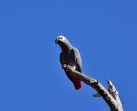 Papagei des afrikanischen Graus auf trockener Niederlassung stockbild
