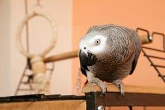 Papagei des afrikanischen Graus, der auf dem Käfig sitzt Stockfoto