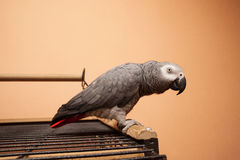 Papagei des afrikanischen Graus, der auf dem Käfig sitzt Lizenzfreie Stockbilder