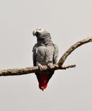 Papagei des afrikanischen Graus des roten Endstücks lizenzfreies stockfoto