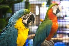 Papagei in einem Geschäft für Haustiere stockbild