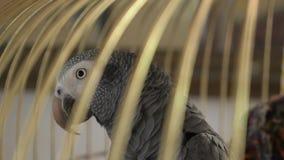 Papagei in einem goldenen K?fig 4k, Zeitlupe, Nahaufnahme der Papagei spricht stock video footage
