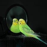 Papagei in einem Spiegel stockbild
