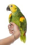 Papagei gehockt auf einer Hand Stockbild