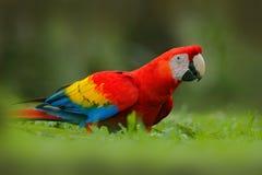 Papagei im Gras Wild lebende Tiere in Costa Rica Plappern Sie Scharlachrot des Keilschwanzsittich-, Aronstäbe Macao, im grünen tr lizenzfreies stockbild