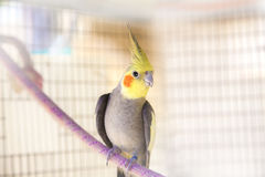 Papagei im Käfig Lizenzfreies Stockfoto